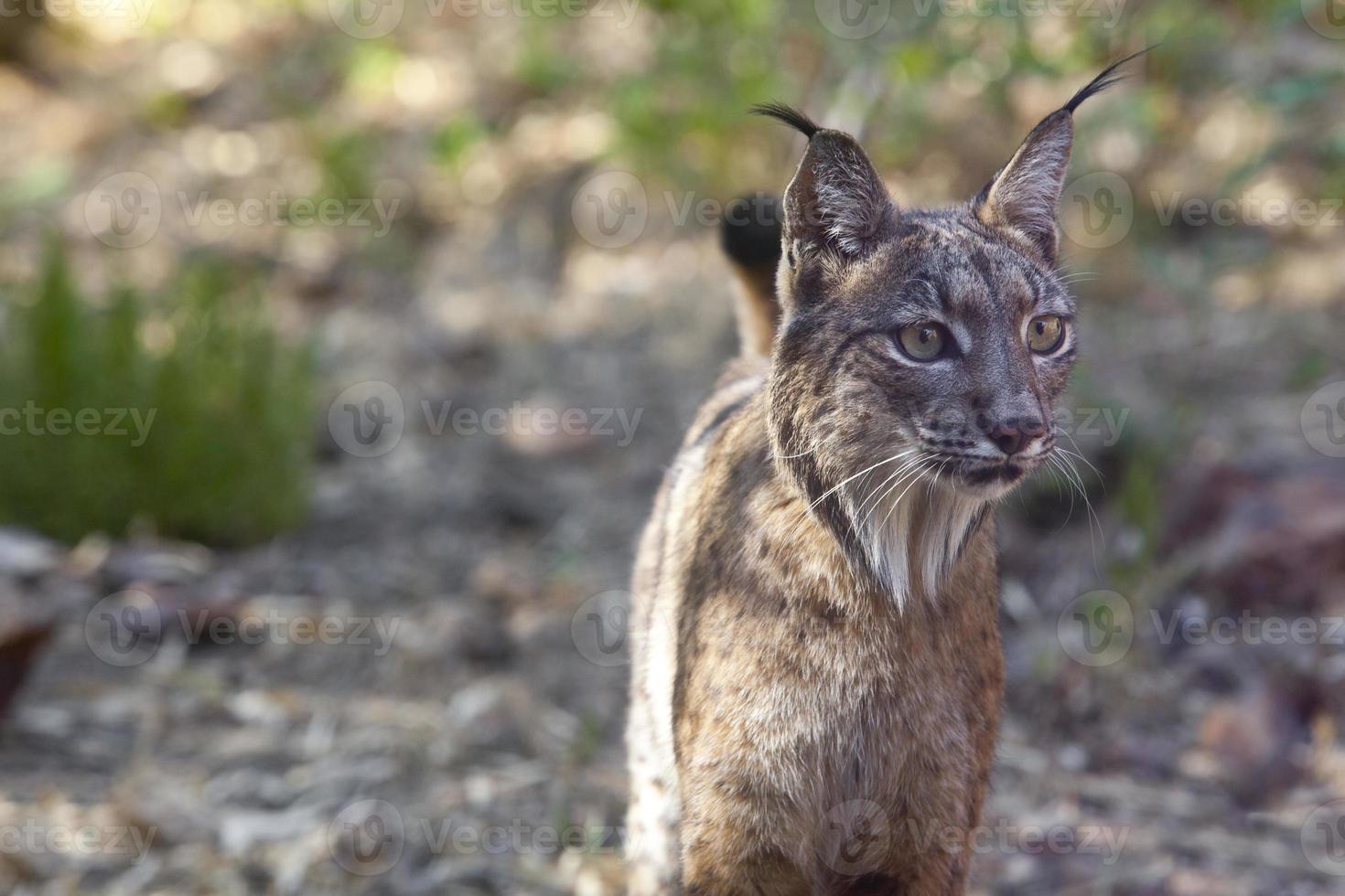 Iberian lynx portrait photo