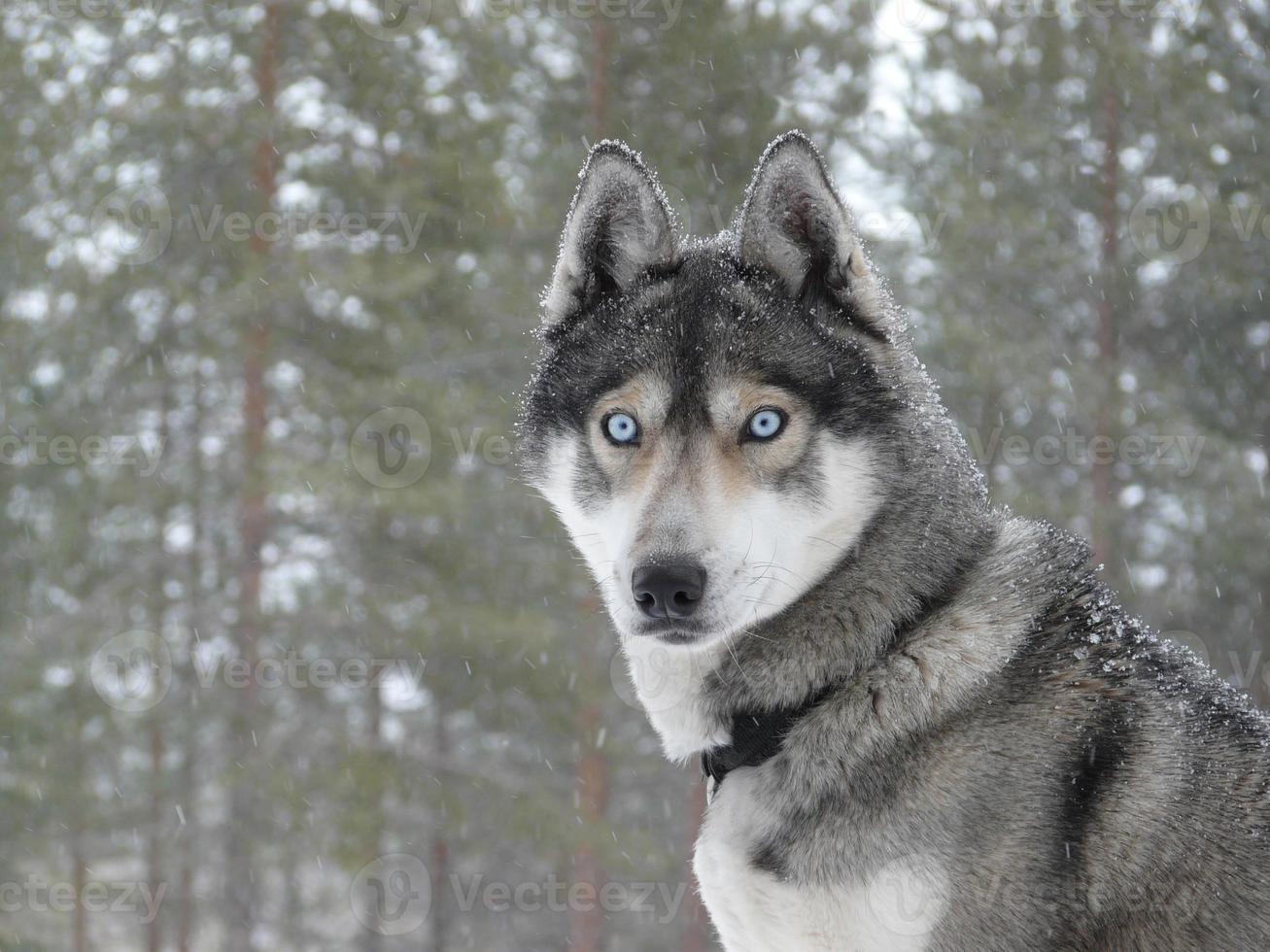 perro husky de ojos azules foto