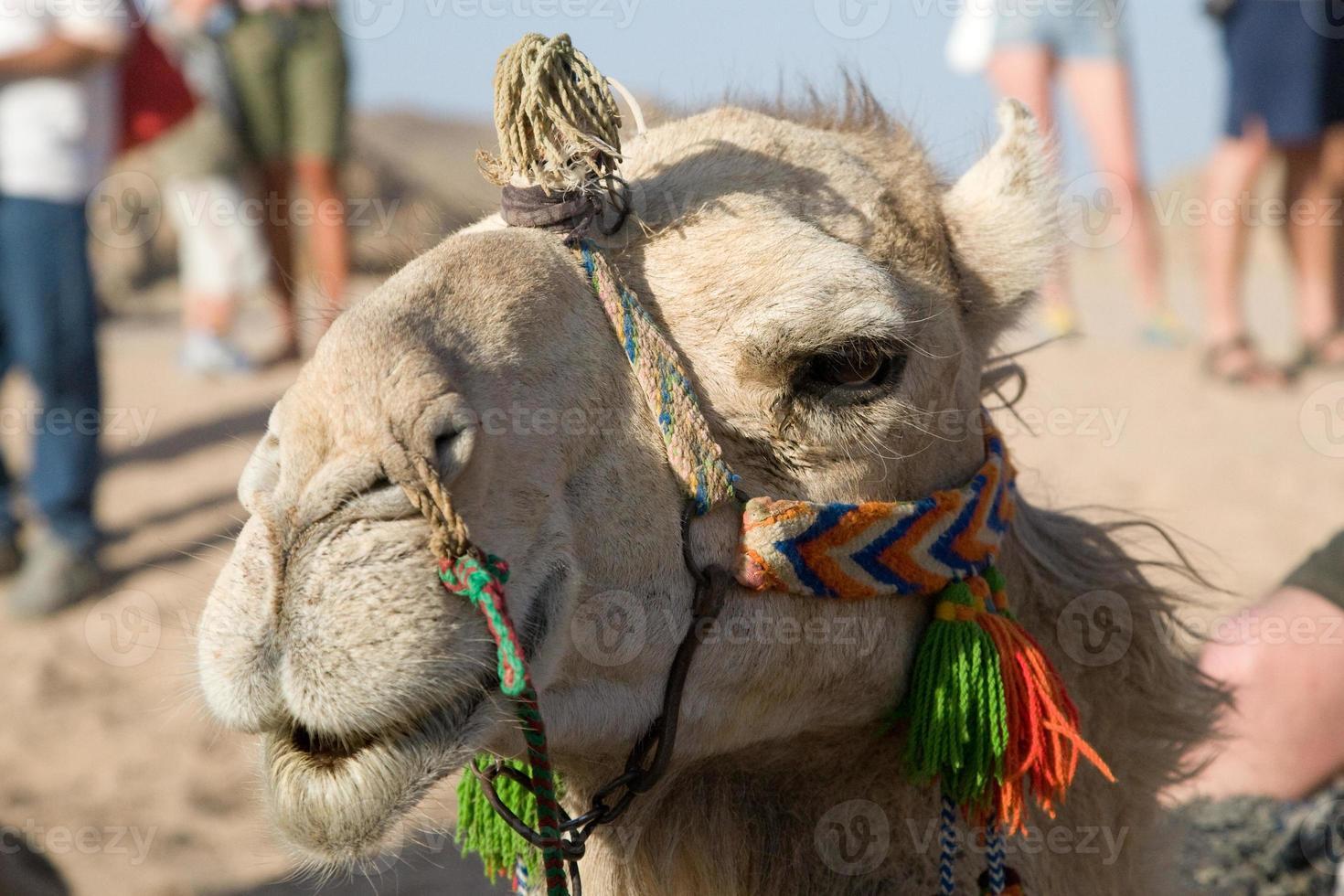 Camel Portrait photo