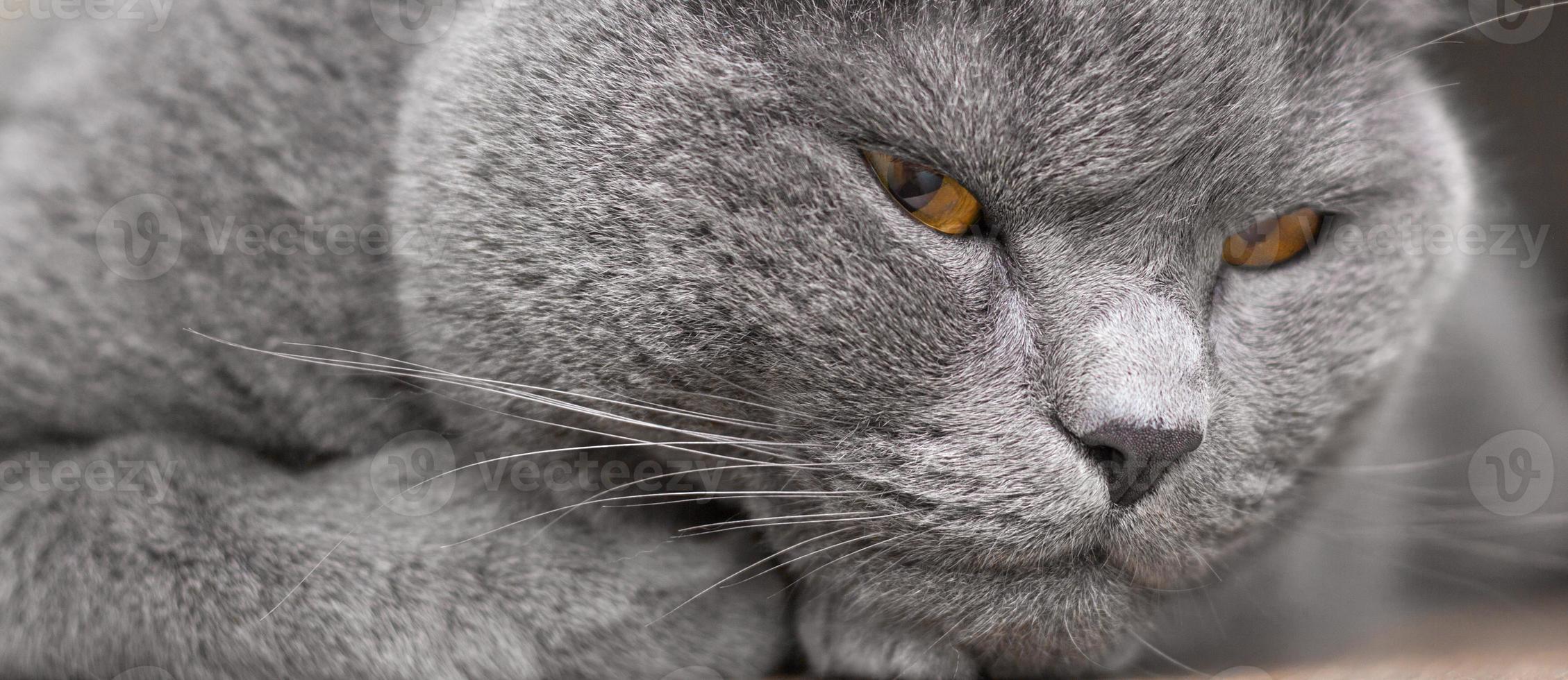 Retrato de gato británico foto