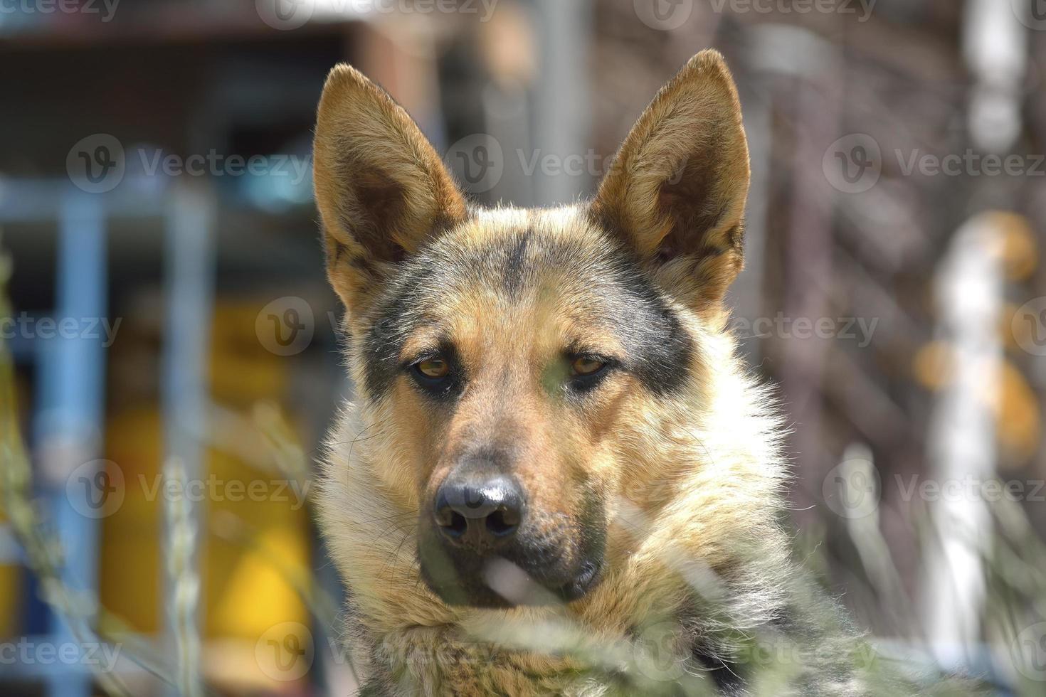 retrato de pastor alemán foto
