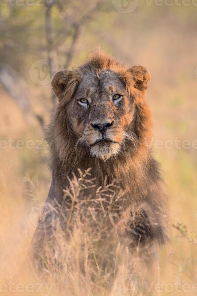 retrato de león macho foto