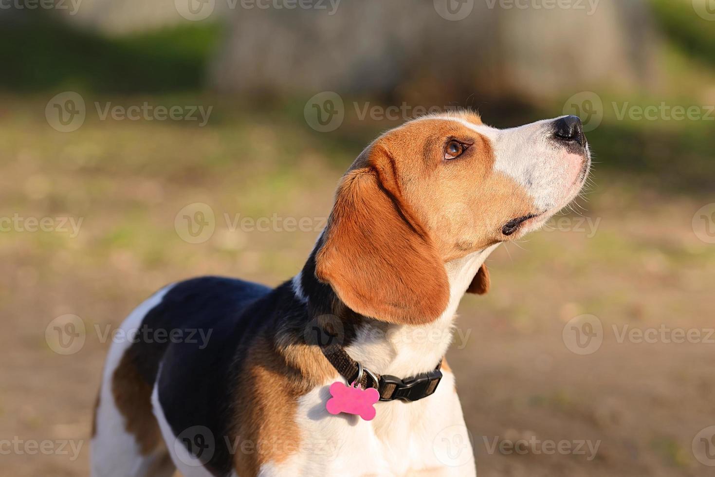 Retrato de perro beagle foto