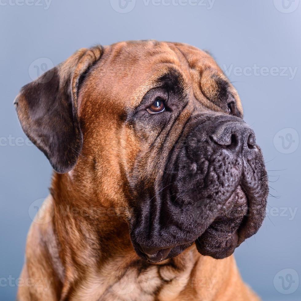 Retrato de perro bullmastiff foto
