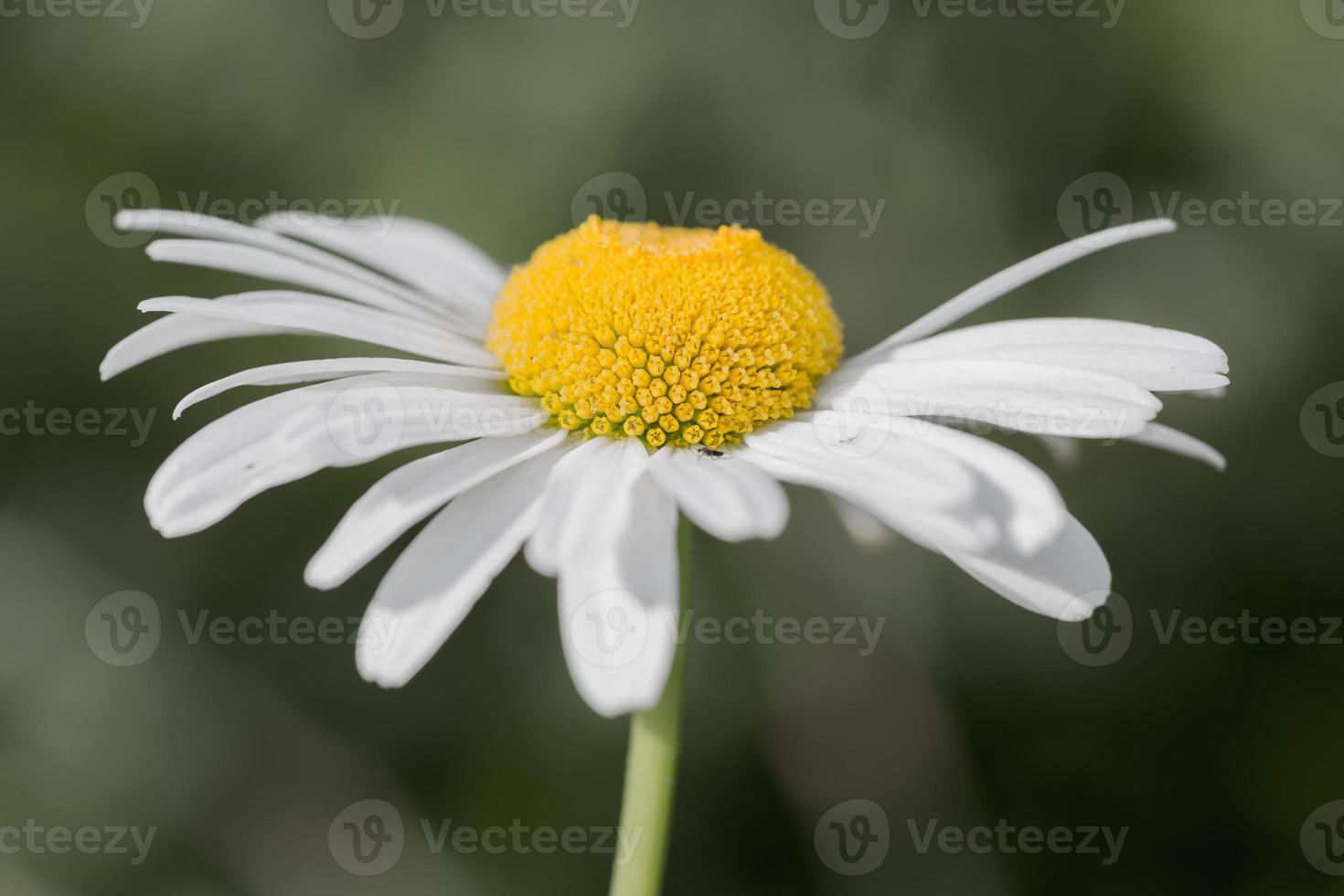 Daisy close up photo