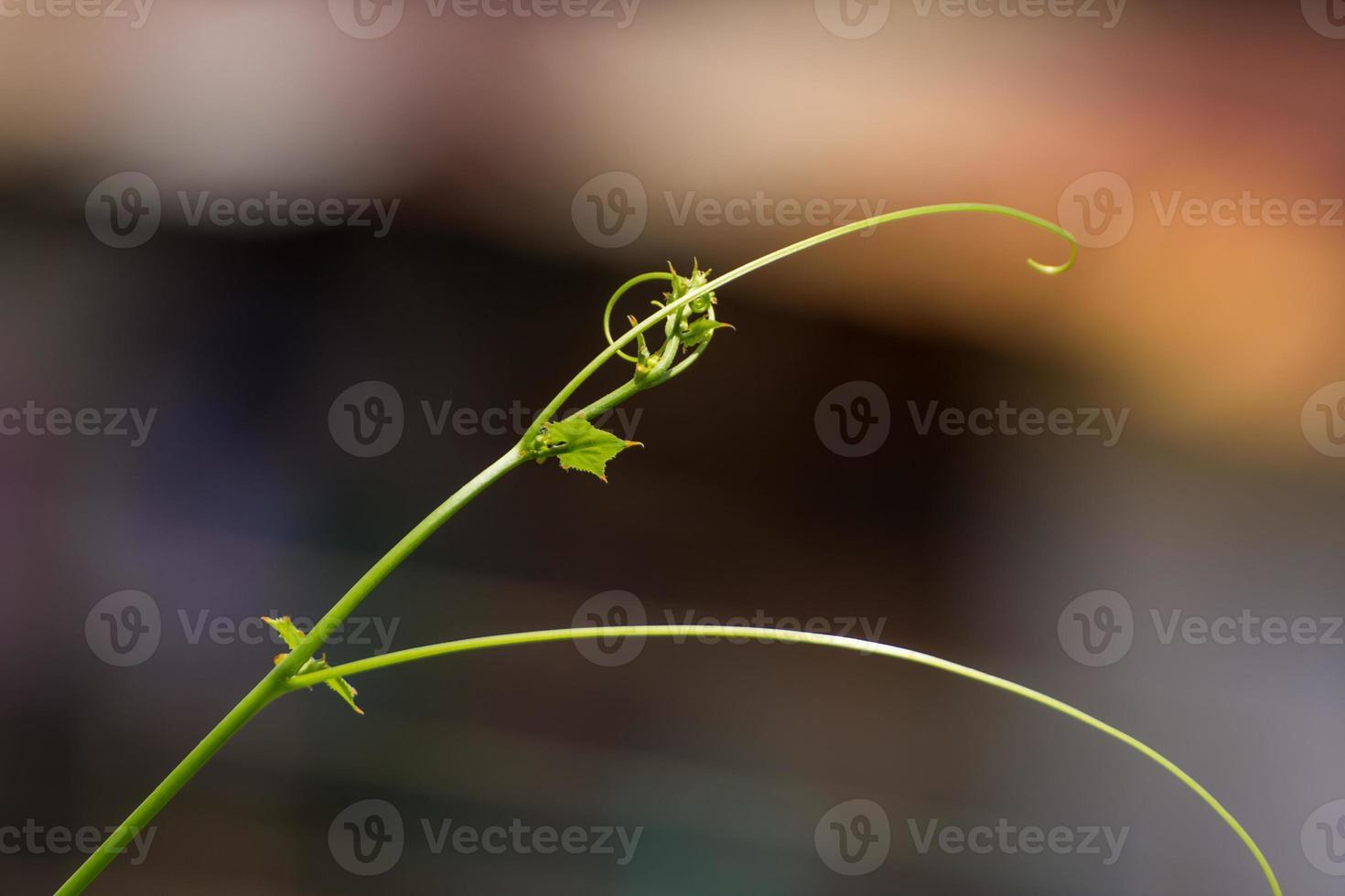 Green leaf vine growing photo