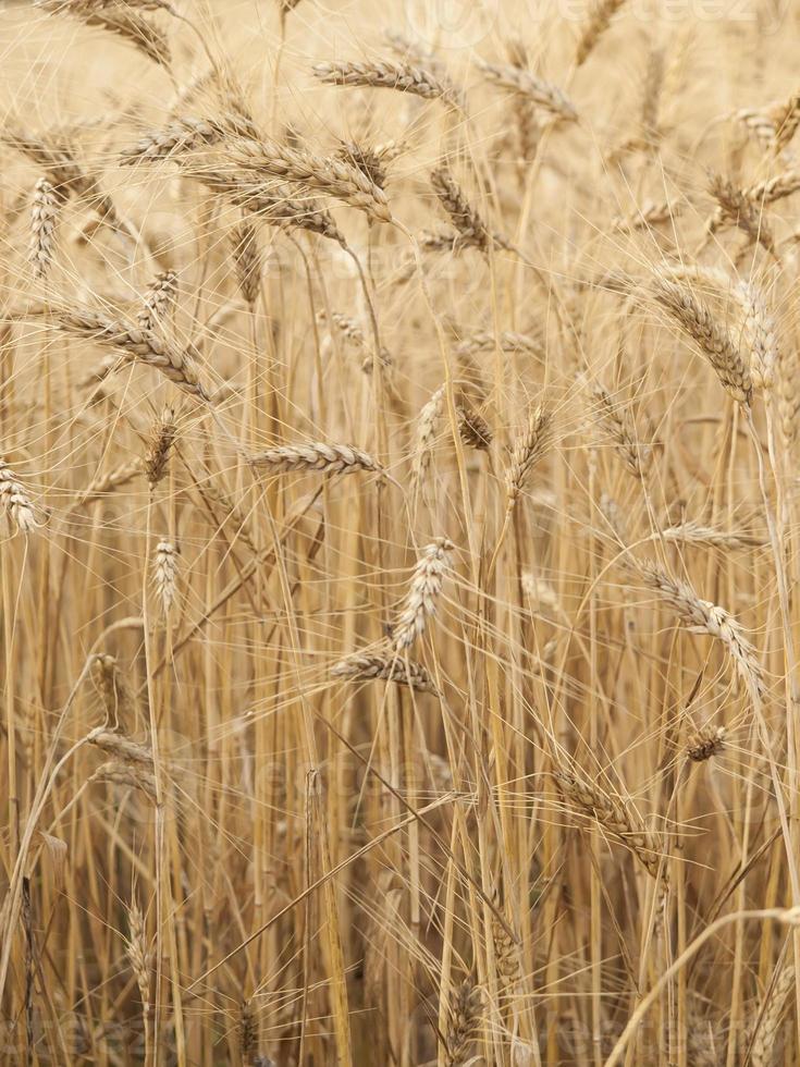 espigas de trigo madurando al sol. foto