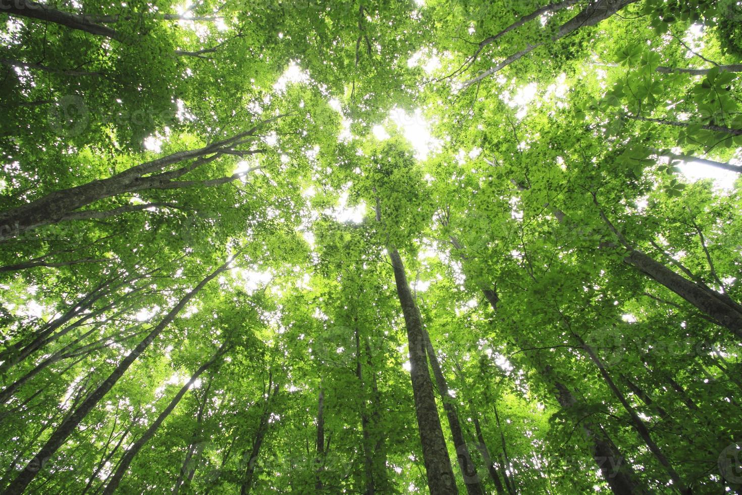 bosque de hayas foto