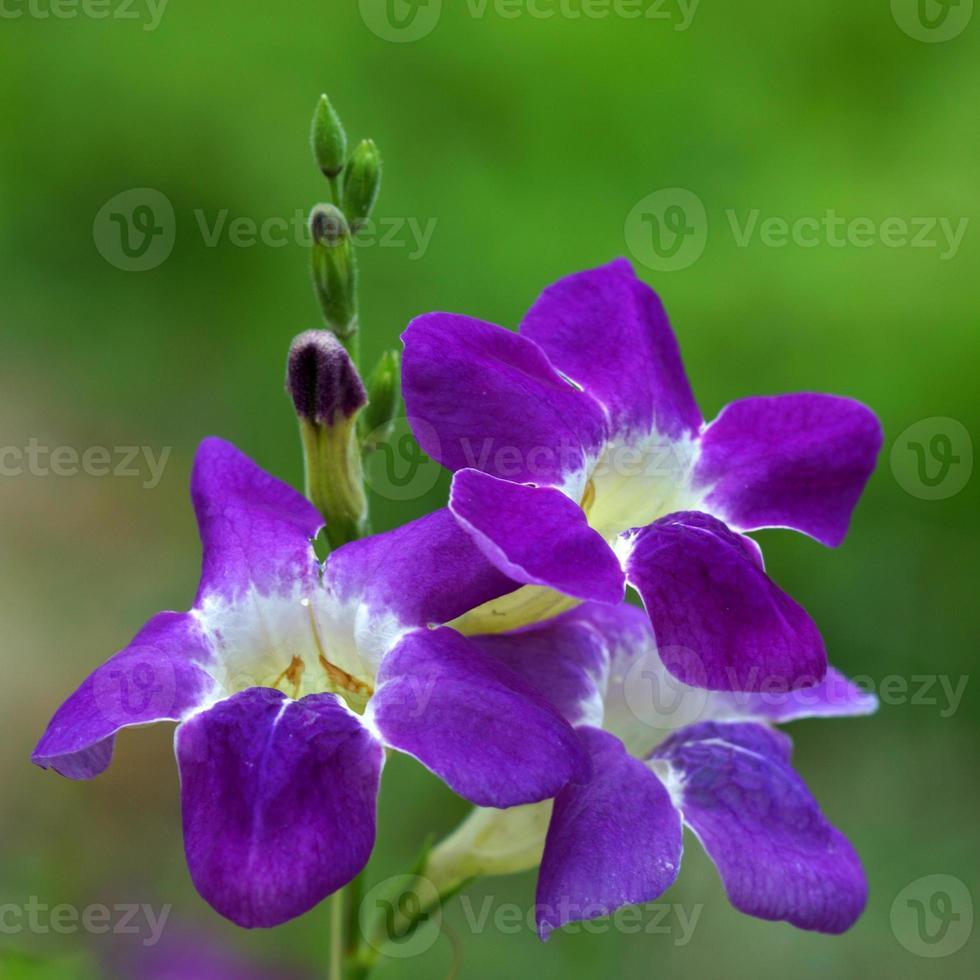 flor de la justicia gangetica foto