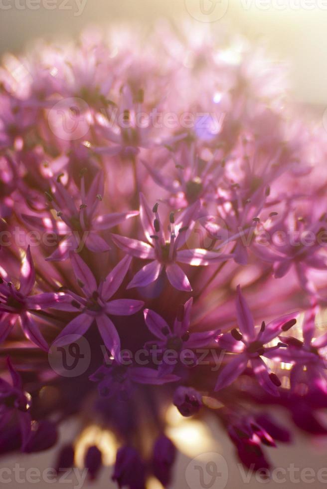 Allium photo