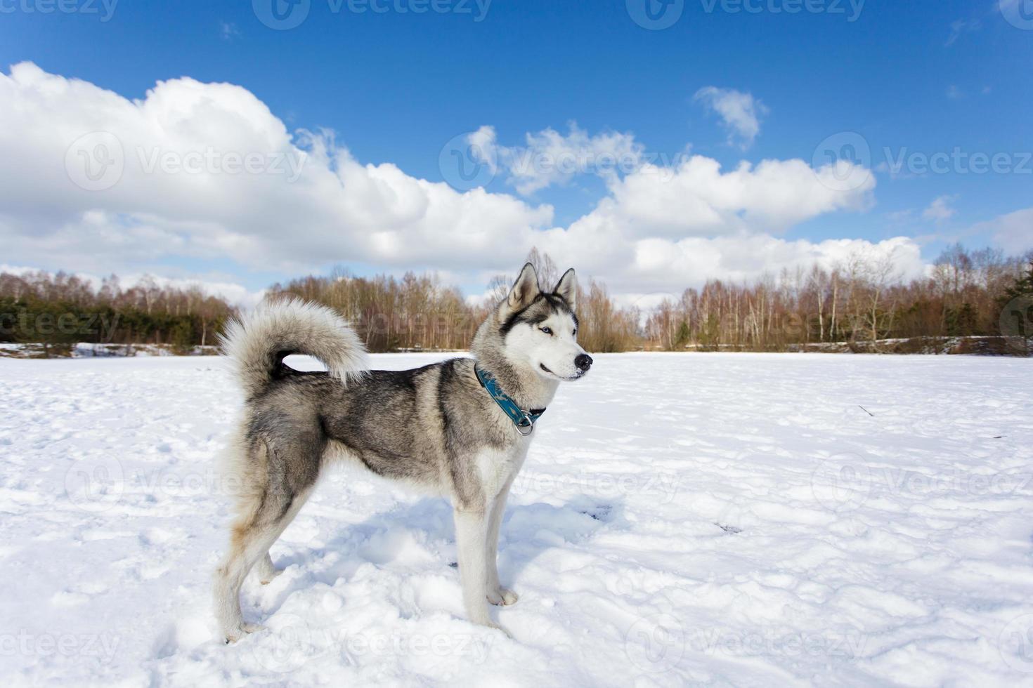retrato de husky foto