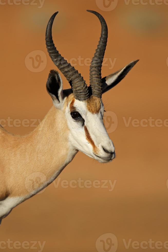 Retrato de antílope springbok foto