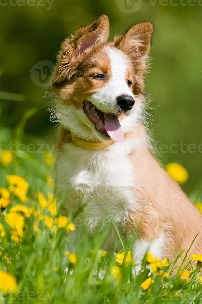 Border Collie cachorro en flores foto