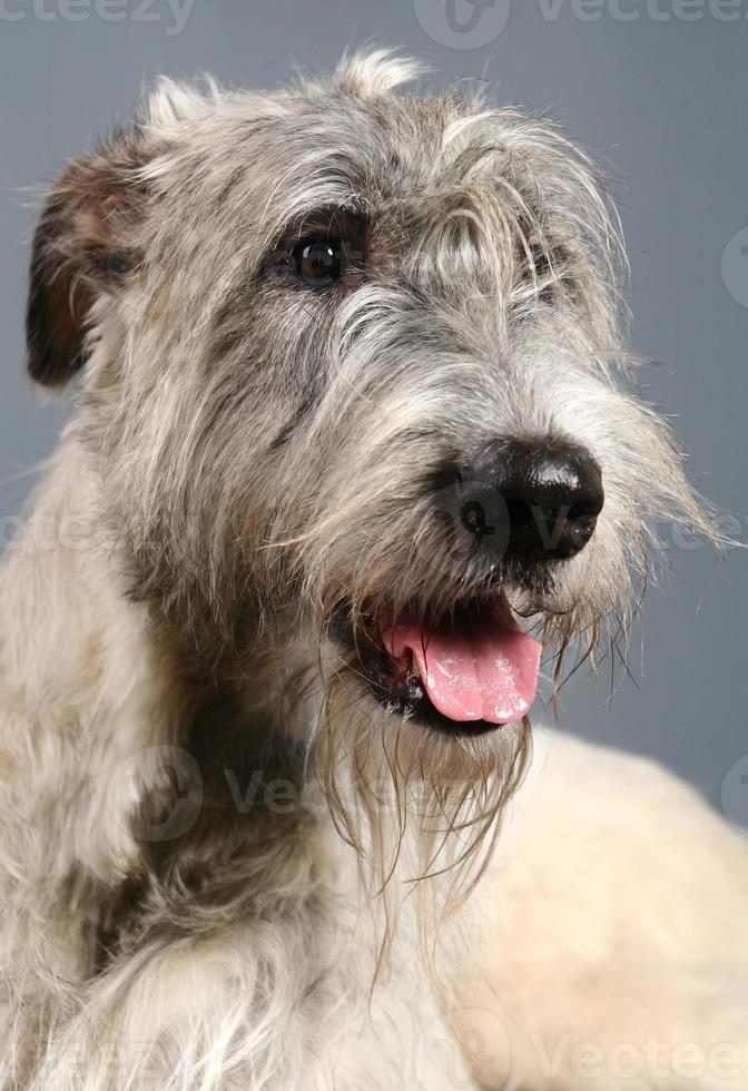 Irish Wolfhound on grey photo