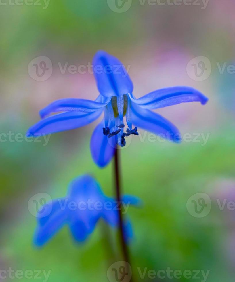 Bluebell impression photo