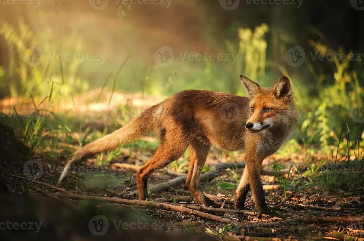 Fox on the summer forest photo