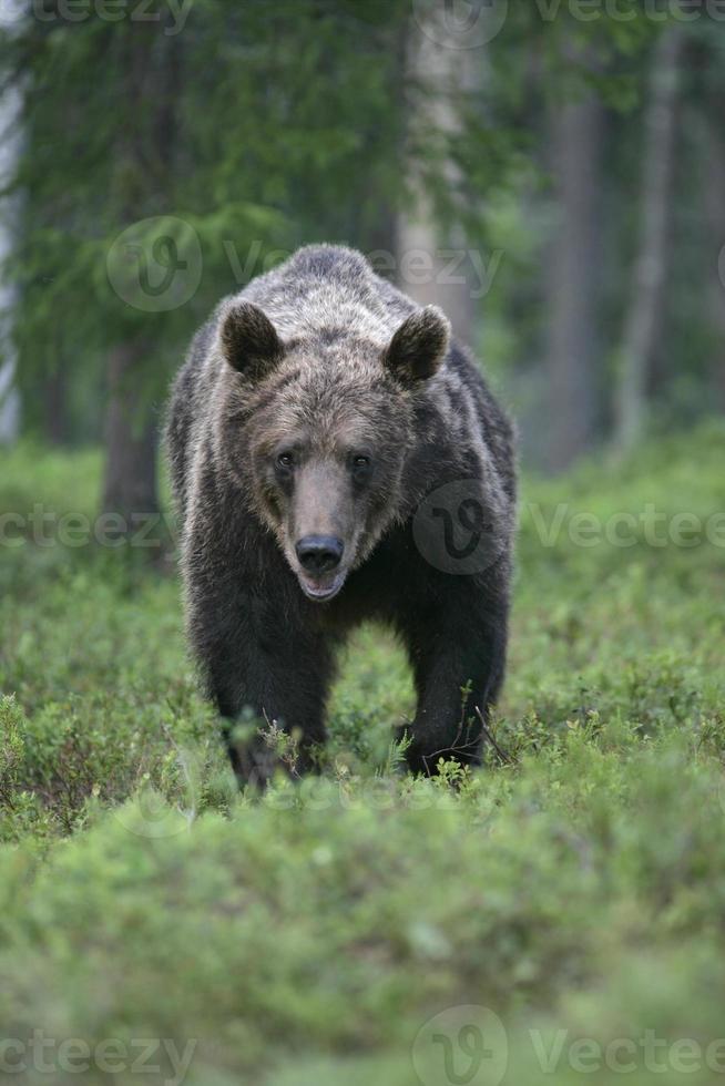 oso pardo europeo, ursus arctos foto