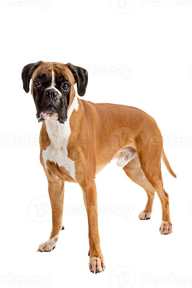 boxer de color leonado foto