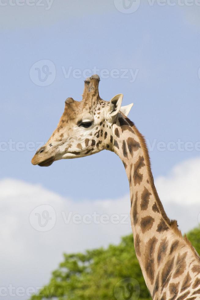 Giraffe Portrait photo