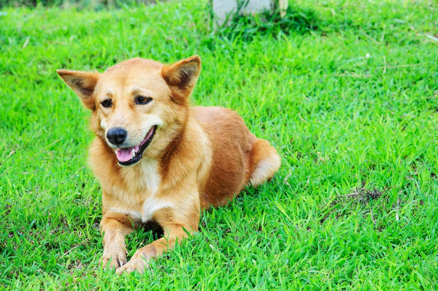 El perro disfrutando en la hierba en la naturaleza (enfoque selectivo) foto