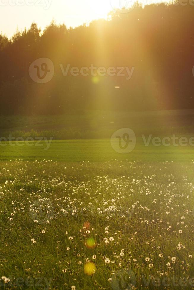 día soleado, cálido atardecer de verano en el campo de diente de león, destello de lente foto