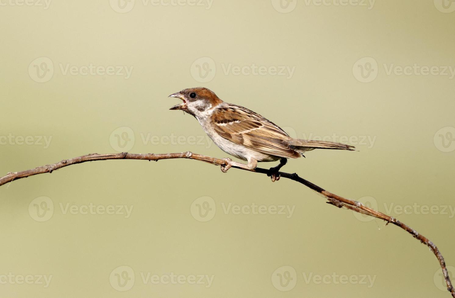 Tree sparrow, Passer montanus photo