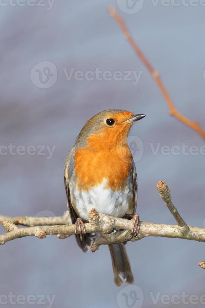 vogels - robin / rudzik raszka foto