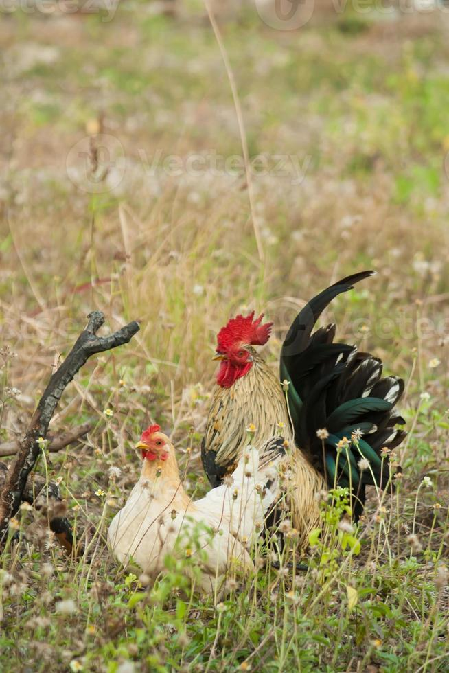 Rooster and hen photo