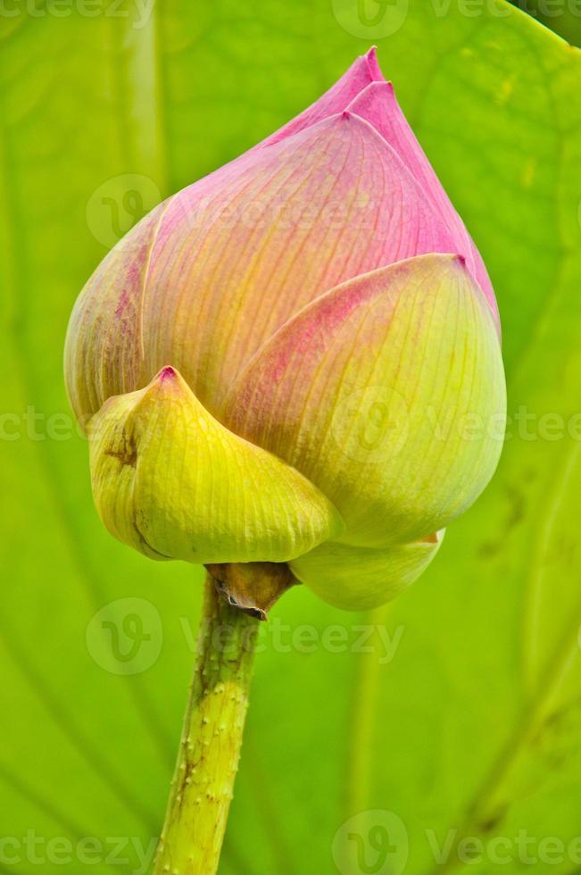 fiore di loto su foglia di fiore di loto foto