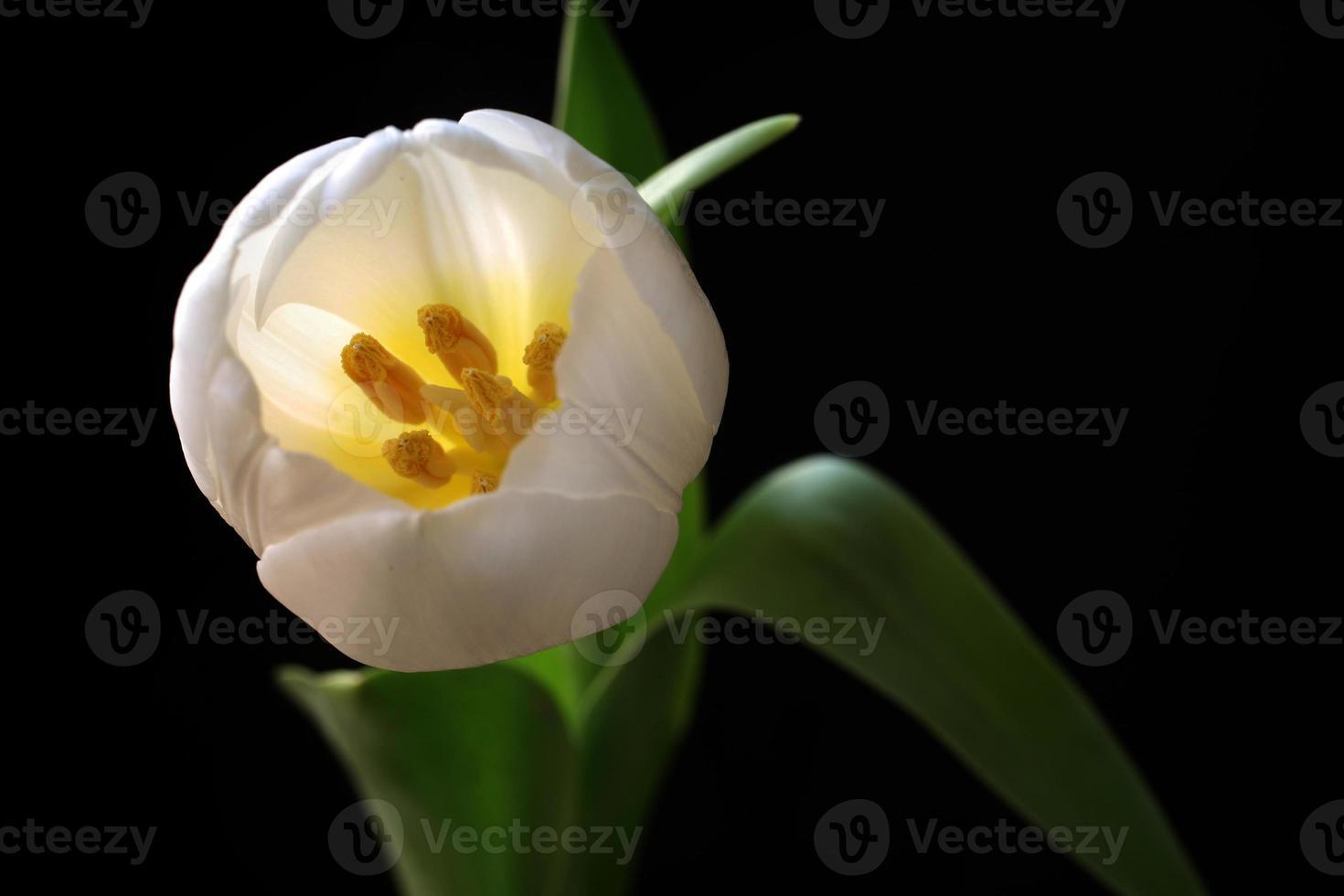 witte tulp van bovenaf foto