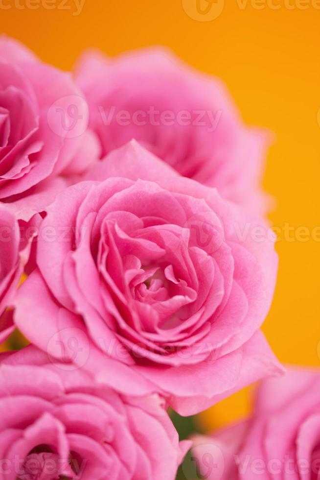 rosas rosadas foto