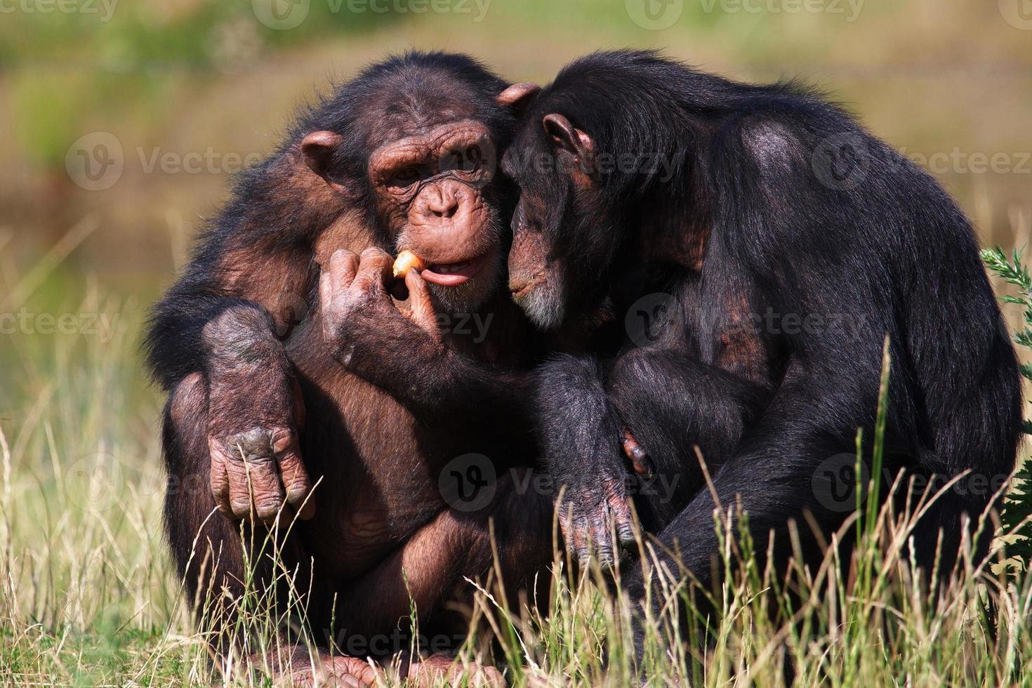 chimpanzees eating a carrot photo