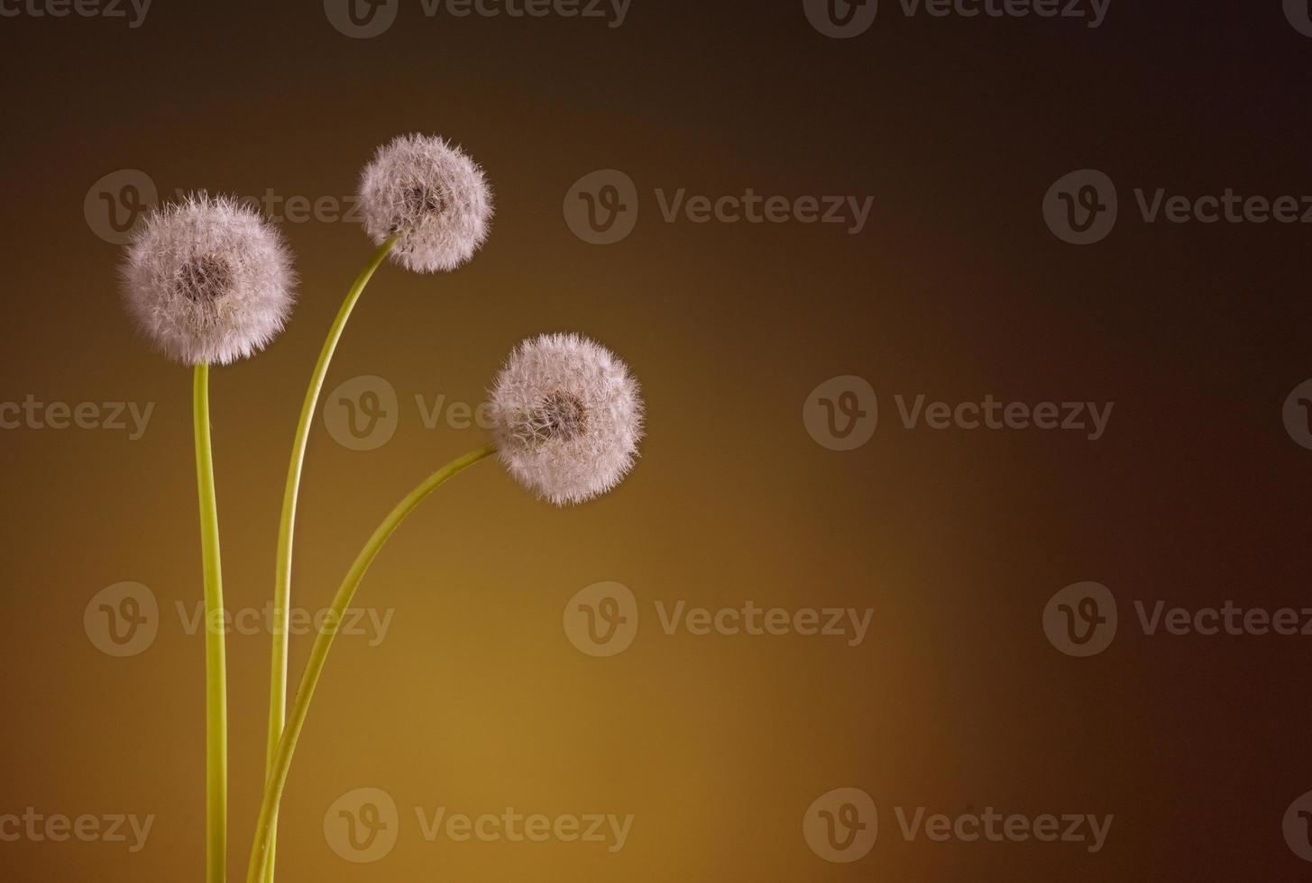 three dandelion blowballs yellow photo