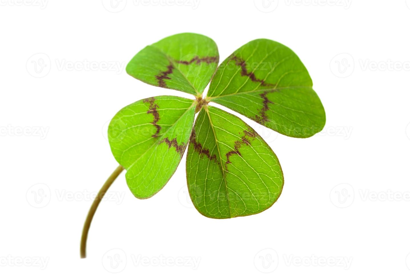 four-leafed clover photo