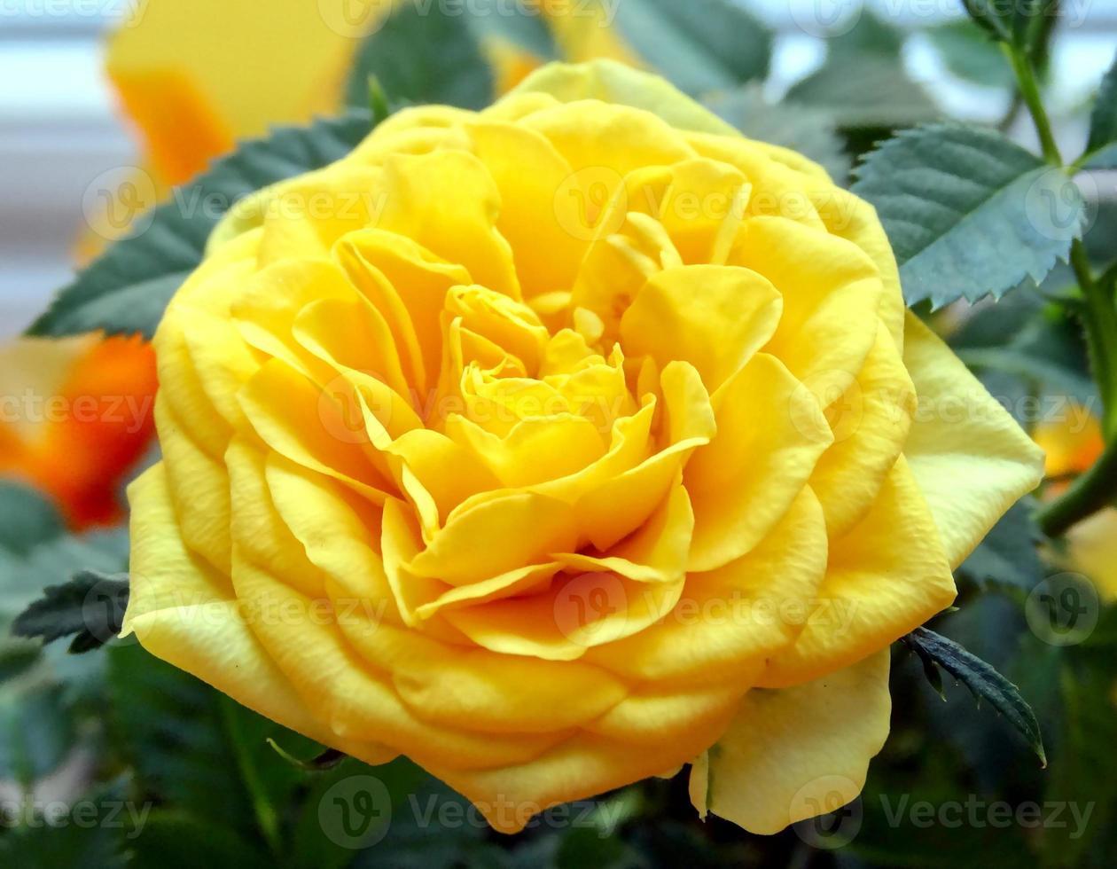 mini rosa amarilla foto