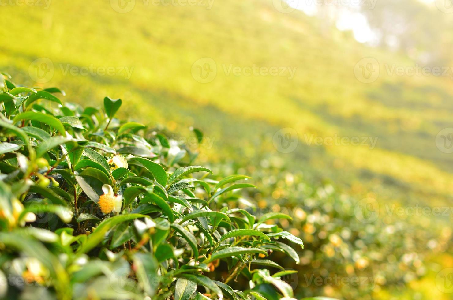Tea Plantation Leafs photo