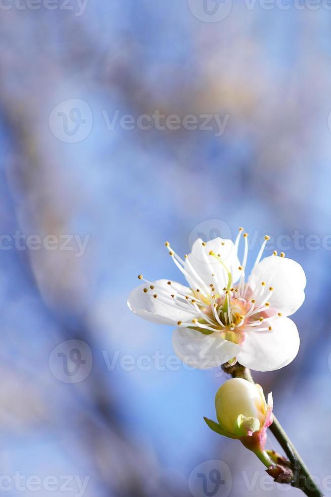 flor de ciruelo. foto