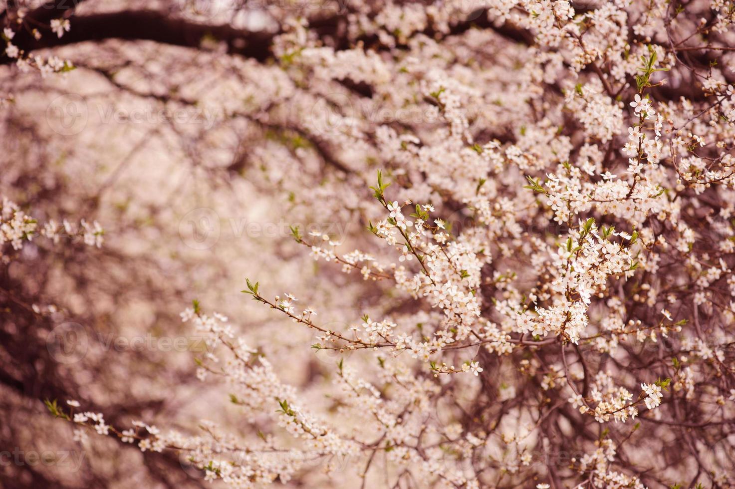 Plum flowers photo