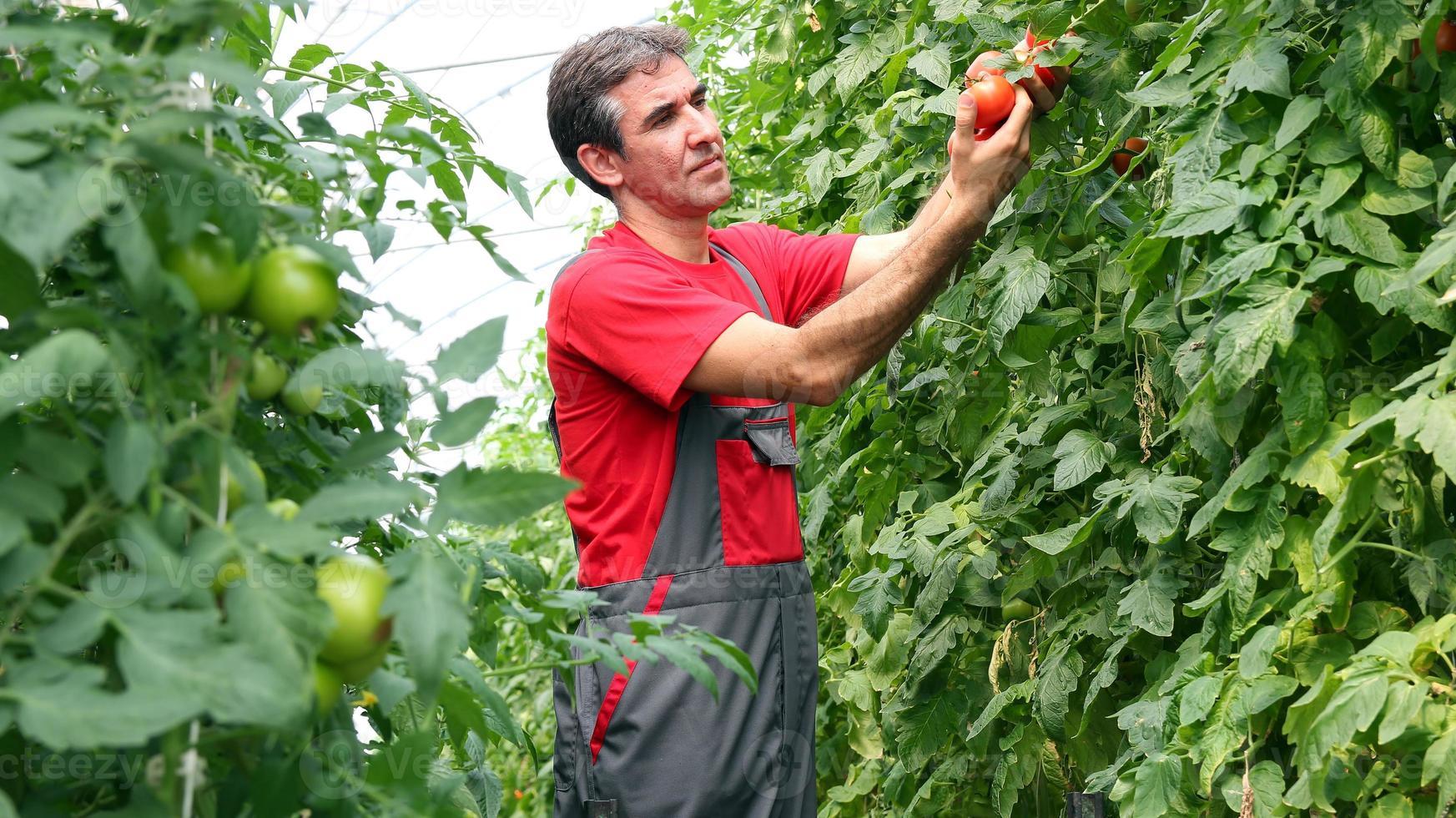 agricultor orgánico cosechando tomates foto