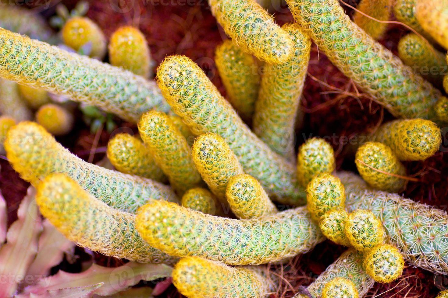 Cactus flowers photo