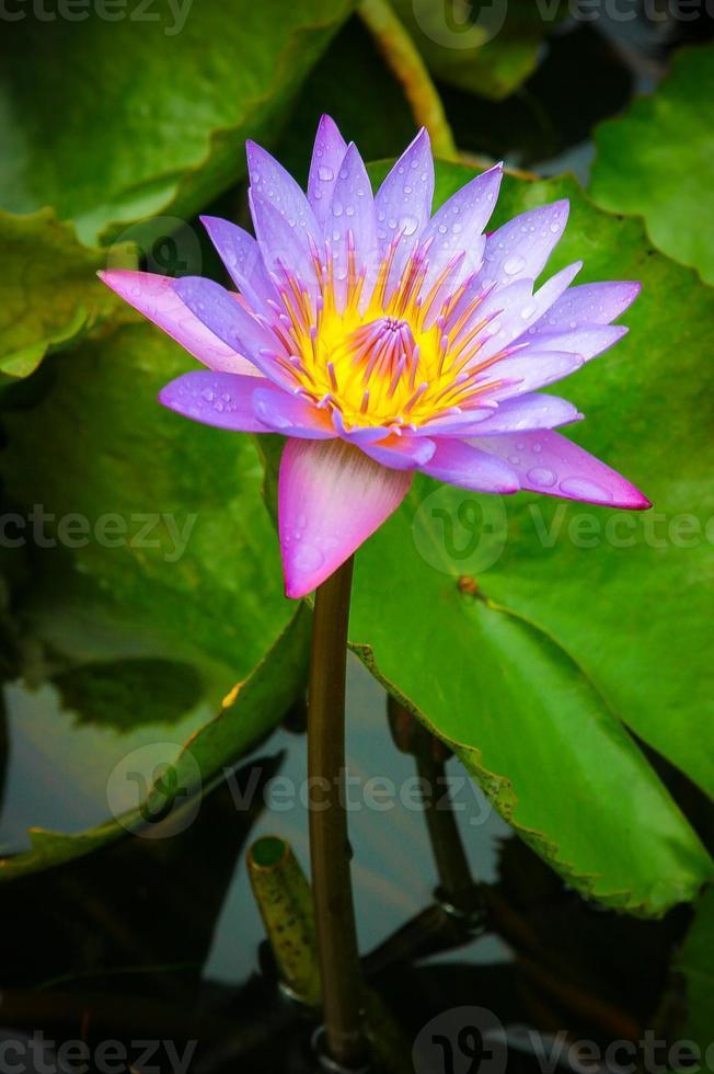 Water Lily in Tahiti photo