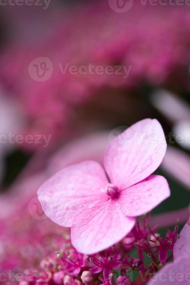 Pink hortensia hydrangea photo