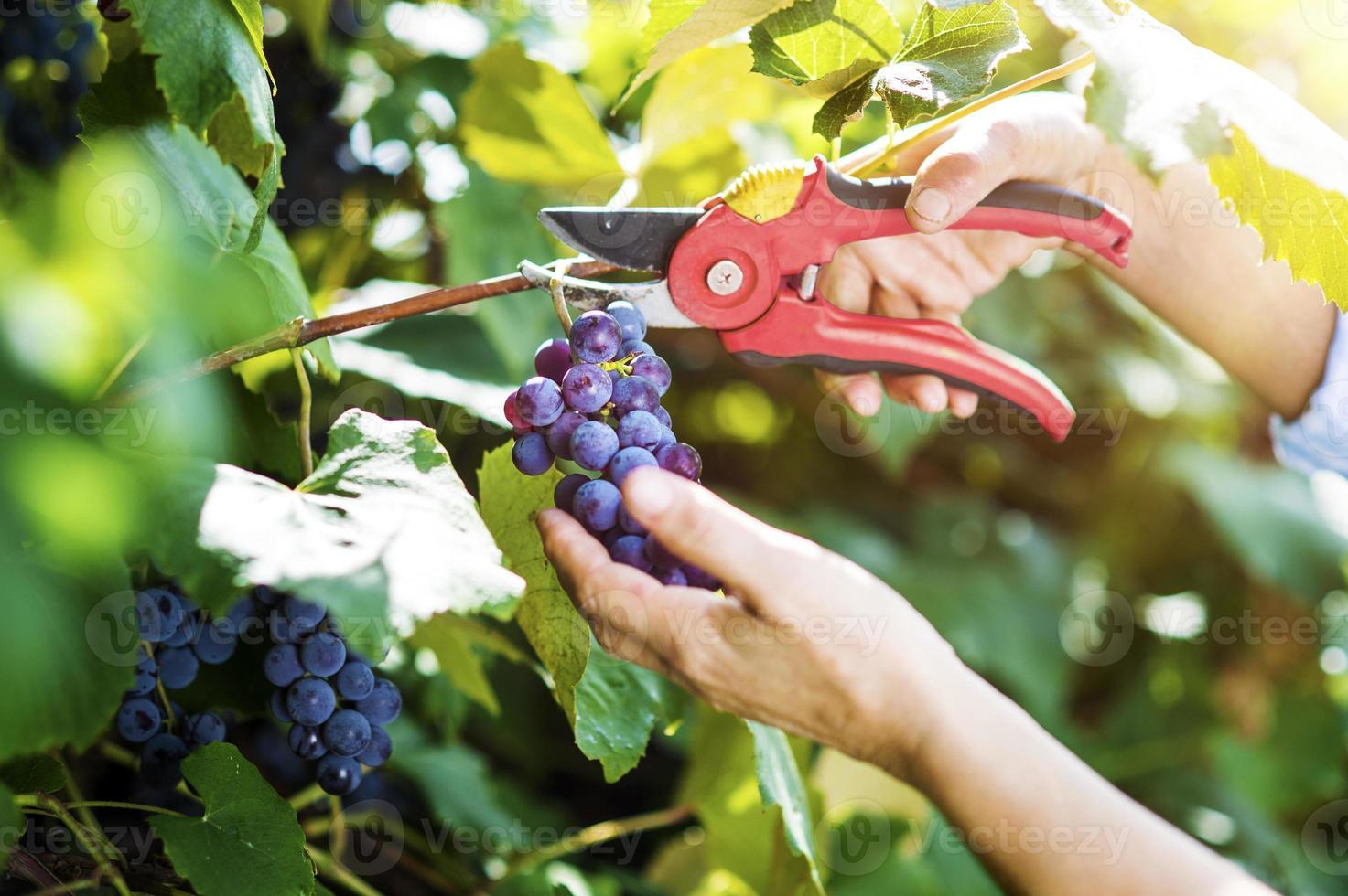 mujer cosechando uvas foto
