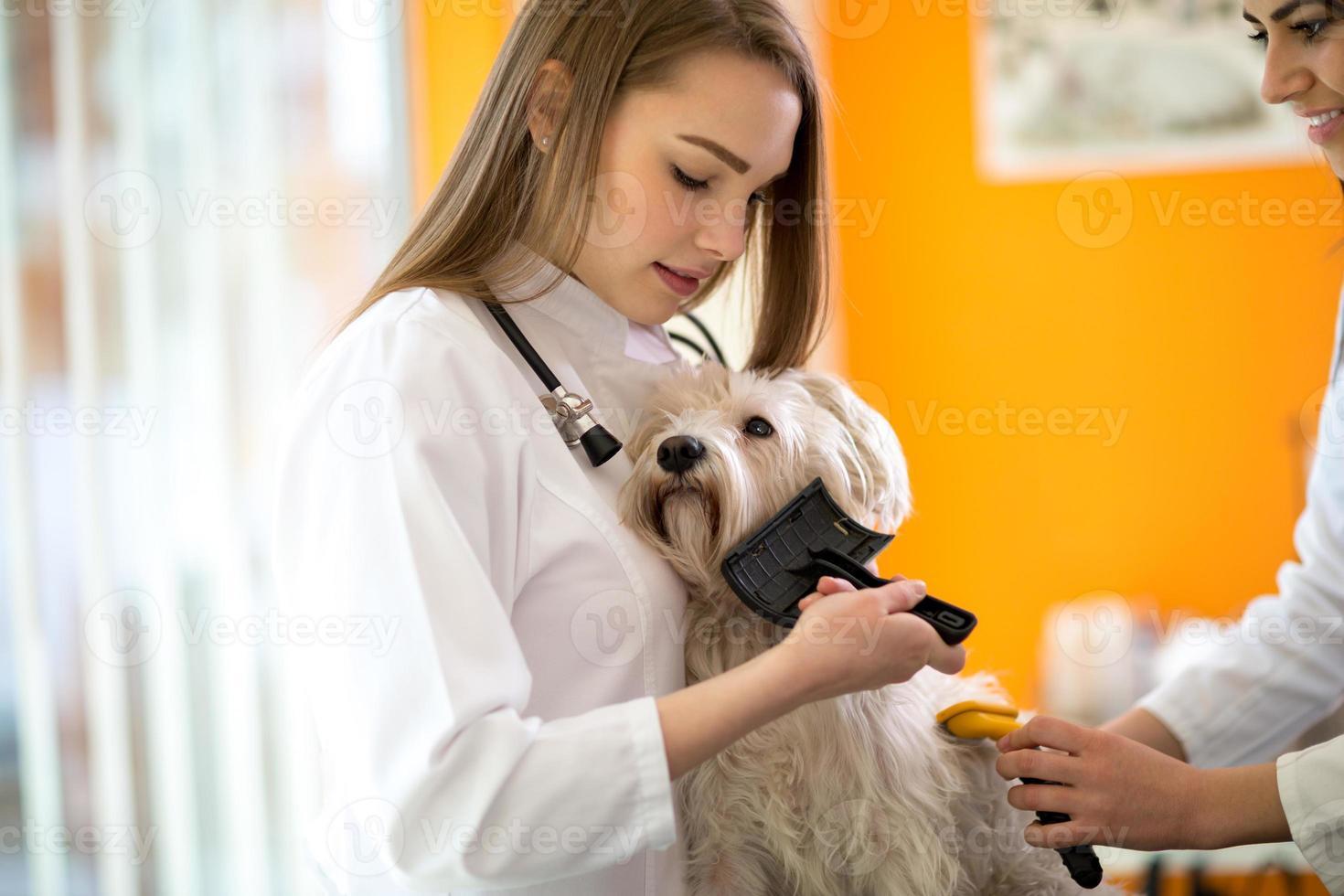 Cuidar y nutrir al perro maltés cepillándolo en la clínica veterinaria foto