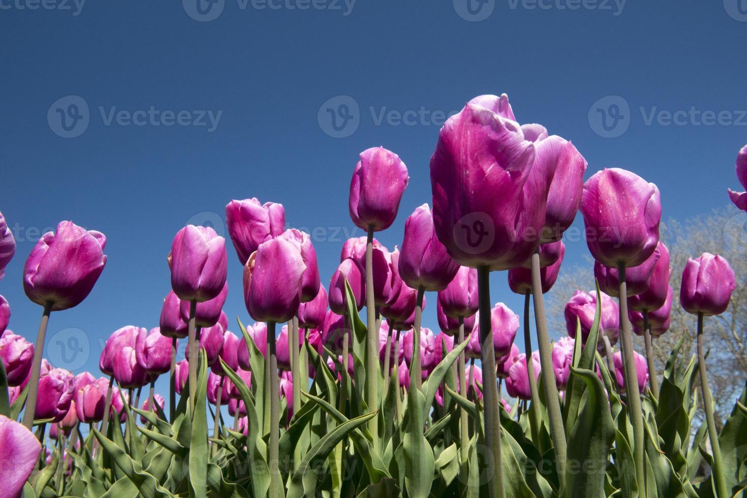 cultura del tulipán foto