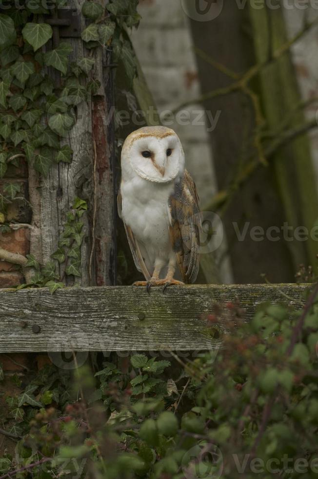Barn Owl (Tyto alba) in a derelict barn photo