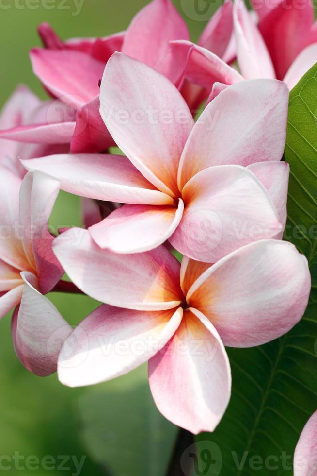 bouquet of pink plumeria or frangipani flower. photo