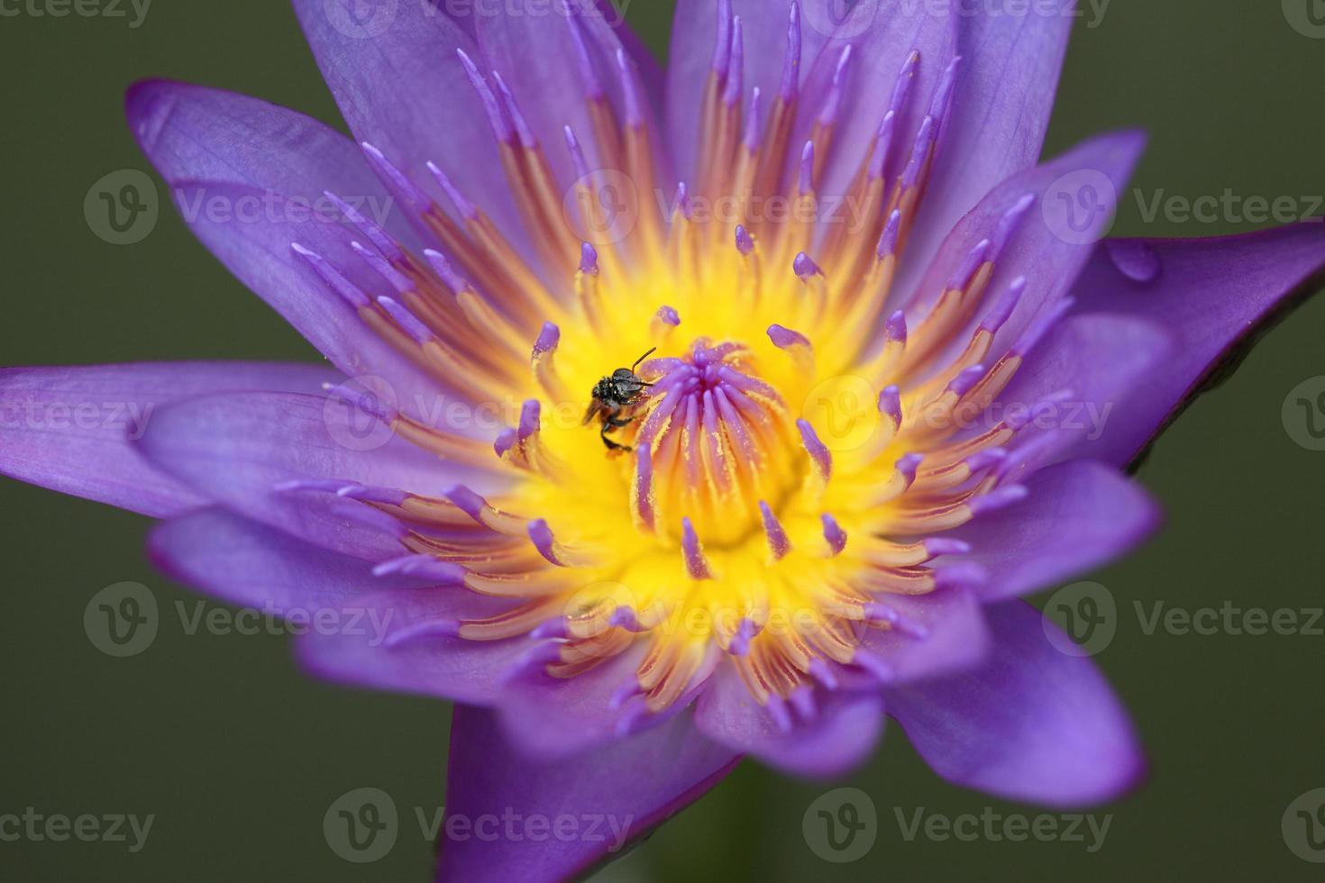 lirio de agua violeta y abeja foto