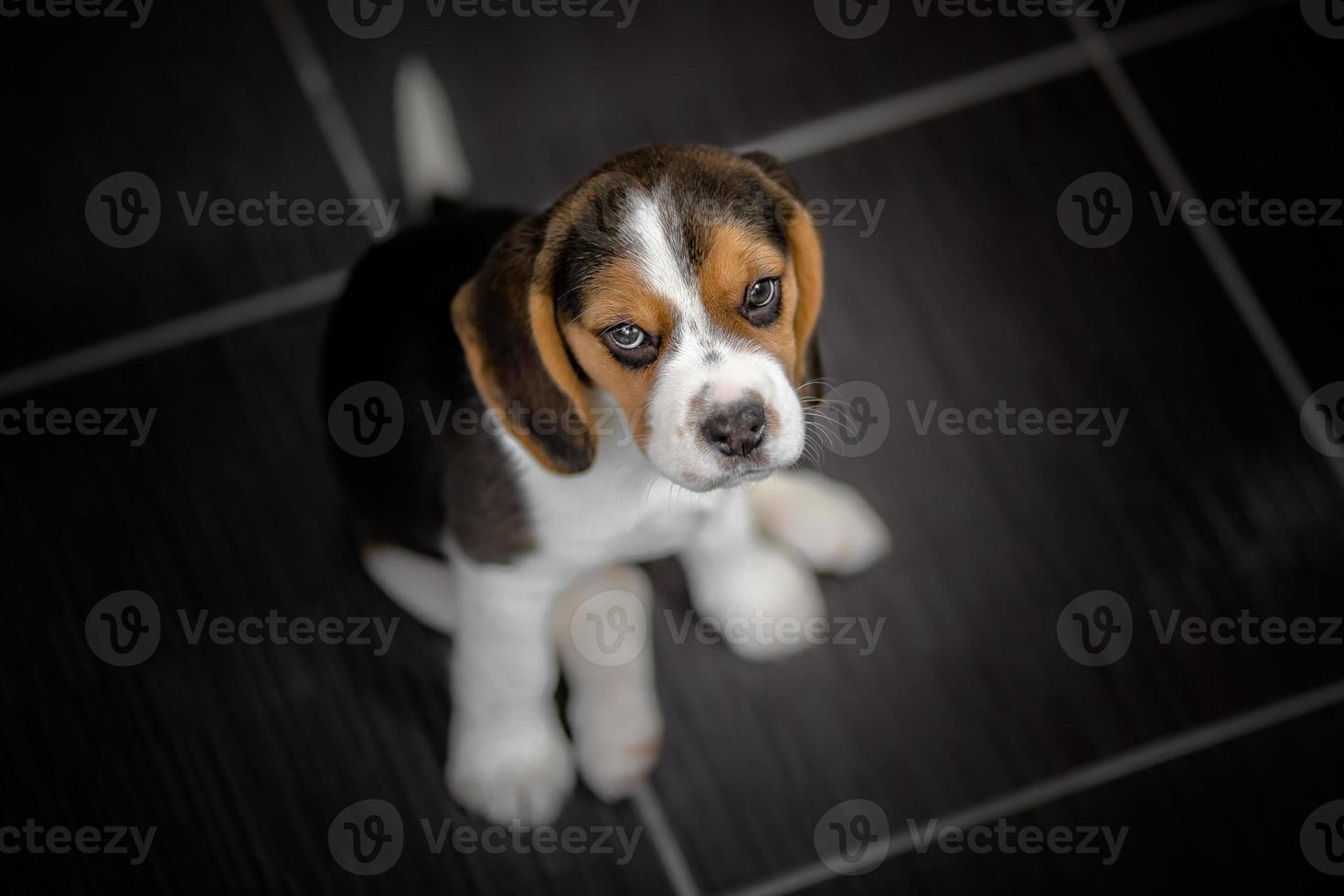 Beagle cachorro mirando hacia arriba foto
