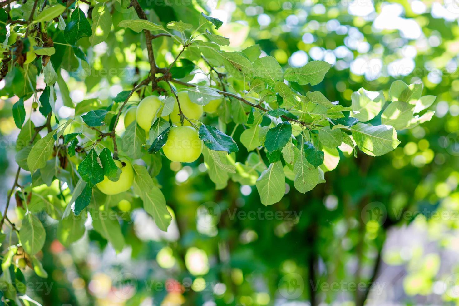 manzanas verdes en una rama lista para ser cosechada, al aire libre foto